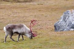 驯鹿-斯瓦尔巴特群岛-挪威 库存照片