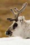 驯鹿头特写镜头在多雪的土坎的 免版税库存图片