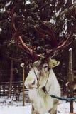 驯鹿& x28;驯鹿farm& x29; 免版税库存照片