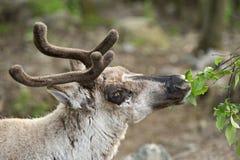 驯鹿 免版税库存照片