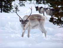 驯鹿 免版税库存图片