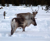 驯鹿 免版税图库摄影