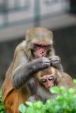 驱除虱子他的婴孩的猴子 免版税库存图片