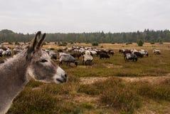 驴保护绵羊牧群免受狼 库存照片