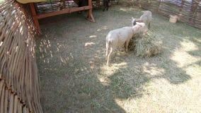 驴和绵羊在公园 股票录像