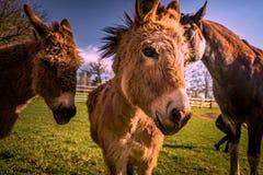 驴和马朋友日落的在农场 免版税库存图片