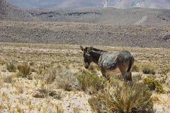 驴在阿塔卡马沙漠 图库摄影