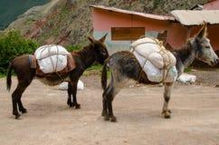 驴在Maras盐矿 库存图片