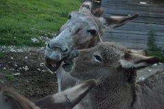 驴在Ronchena & x28位于的农场;威尼托,Italy& x29; 库存图片