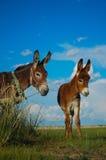 驴外面可爱的蒙古 免版税库存图片
