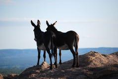 驴夫妇在爱的在山 免版税库存照片