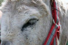 驴眼睛 库存图片