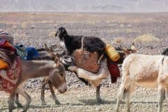 驴运载货物的和山羊。 库存图片