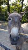 驴面孔在农场 库存图片