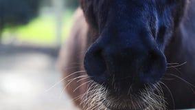 驴鼻子在谷仓 股票视频