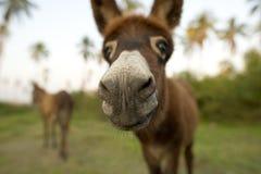 驴鼻子 库存照片