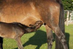 驹吮在母马 免版税图库摄影