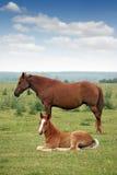 驹和母马 免版税库存图片