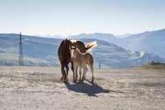 驹和母马 库存图片