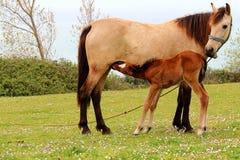 驹哺乳从它的牛奶是母亲 免版税库存照片