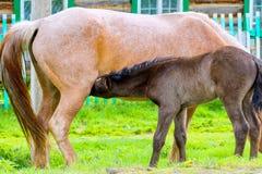 驹喝从马的牛奶 库存照片