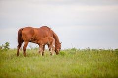 驹护理在牧场地 免版税图库摄影