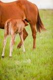 驹护理在牧场地 免版税库存照片