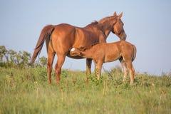 驹护理在牧场地 免版税库存图片