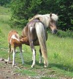 驹通配母马的看护 免版税图库摄影
