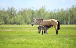 驹从母马吮牛奶 库存照片