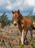 驹hed lojsta瑞典wildhorse 免版税库存图片