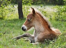 驹hed lojsta瑞典wildhorse 免版税库存照片