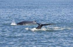 驼背二鲸鱼 免版税库存照片