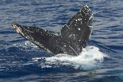 驼背副尾标顶层鲸鱼 免版税库存照片