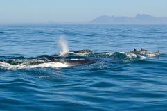 驼背和宽吻海豚 库存图片