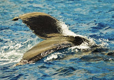 驼背尾标鲸鱼 免版税图库摄影