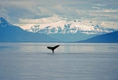 驼背尾标鲸鱼 图库摄影