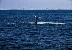 2驼背尾标鲸鱼 图库摄影