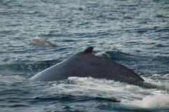 驼背鲸和宽吻海豚 免版税图库摄影