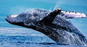 驼背鲸在他们的有极大的飞溅的后面能推挤自己正确在水外面,扭转在天空中登陆 库存照片
