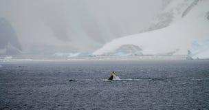驼背鲸在南极洲的Foyn港口 免版税库存图片