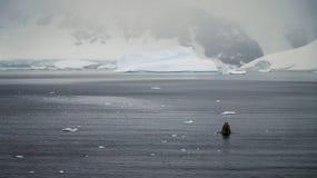 驼背鲸在南极洲的Foyn港口 库存照片