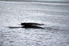 驼背鲸在南极洲 免版税库存照片