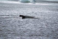 驼背鲸在南极洲 库存照片