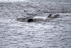 驼背鲸在南极洲 库存图片