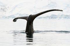 驼背鲸在南极水域中 免版税库存照片