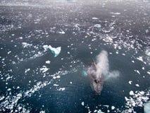 驼背鲸在南极洲 免版税库存图片