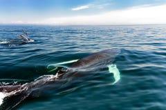 驼背鲸在新斯科舍 库存图片