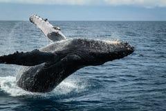 驼背鲸在毛伊 库存照片