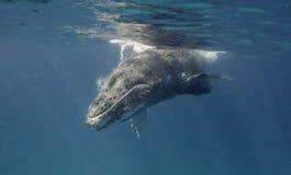 驼背鲸在表面 免版税库存图片